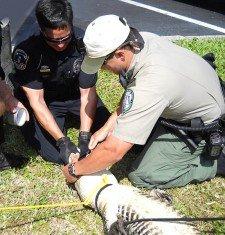 Police Wrestle Gator