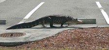 Police chase alligator