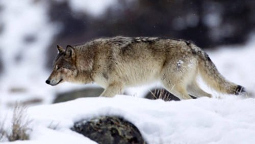 """Wolves are typically pack hunters, but the """"lone wolf"""" attacks have similarities in the methods used by nature's killer (photo from npca.org)."""